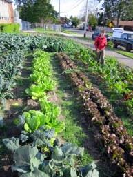 Noe harvesting lettuce, June 2012