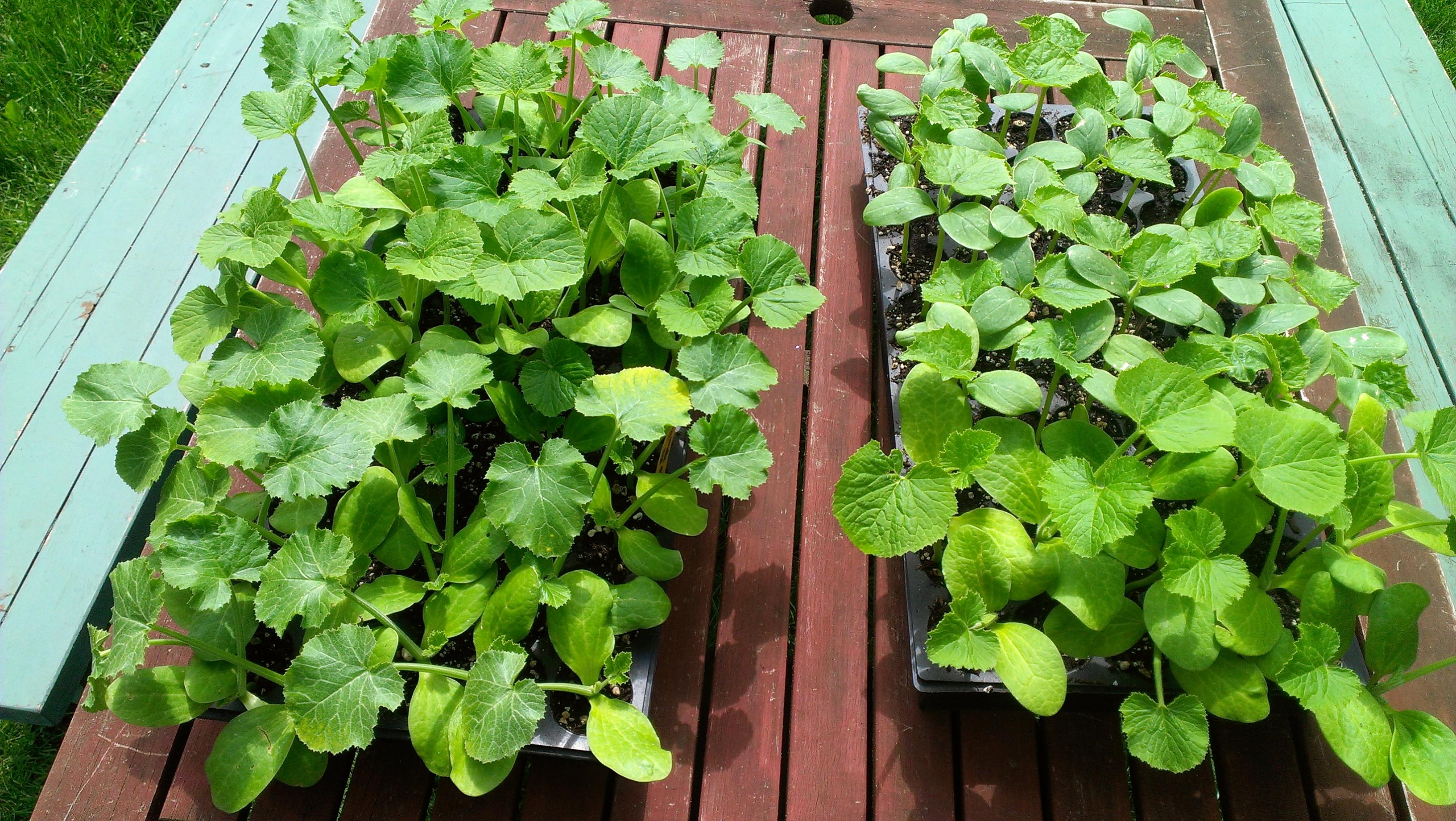 garden design garden design with squash planting time